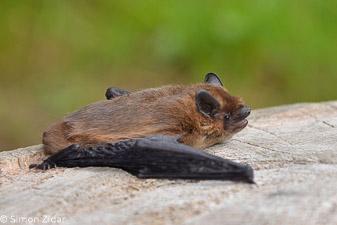 Mali netopir