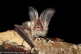 Rjavi uhati netopir