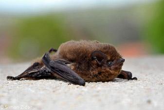 Nathusijev netopir